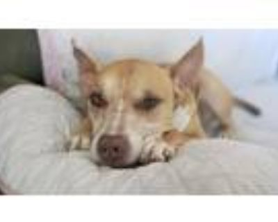 Adopt Ryder a Tan/Yellow/Fawn American Pit Bull Terrier / Mixed dog in Longmont