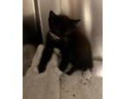 Adopt SPROUT a Domestic Shorthair / Mixed (short coat) cat in Gloucester