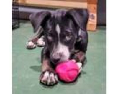 Adopt Nina a Black - with White Border Collie / Catahoula Leopard Dog dog in