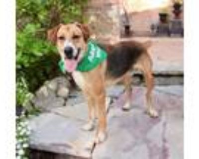 Adopt Marty a Anatolian Shepherd, Black Mouth Cur