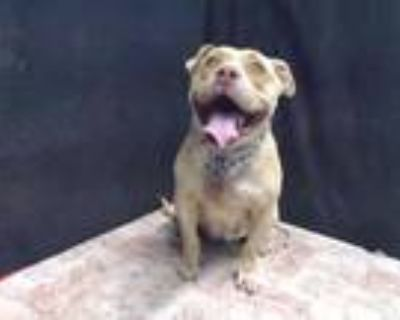 Adopt DAISY a Tan/Yellow/Fawn - with White American Pit Bull Terrier / Mixed dog