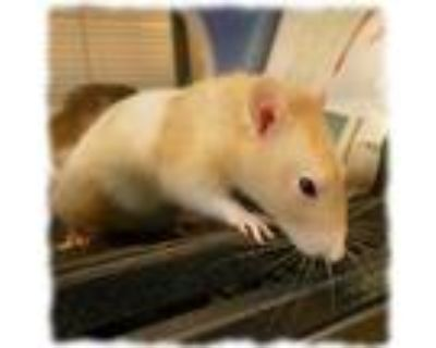 Adopt BO a White Rat / Rat / Mixed small animal in Slinger, WI (32065815)