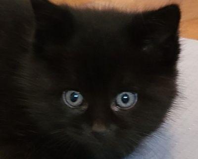 FREE ADORABLE BLACK KITTEN in Almont