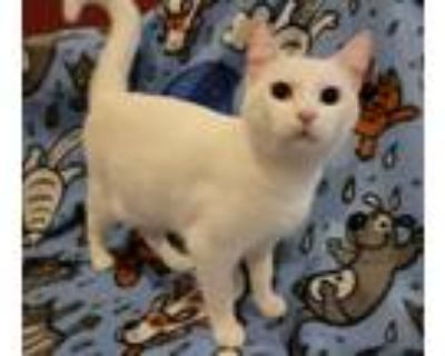 Adopt Millie a White Domestic Shorthair / Mixed cat in Wheaton, IL (32053679)