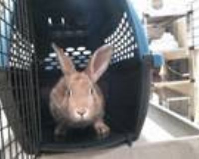 Adopt BLUEBELL a Fawn Other/Unknown / Mixed rabbit in Denver, CO (32063137)