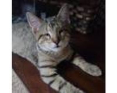 Adopt Lucy a Domestic Short Hair