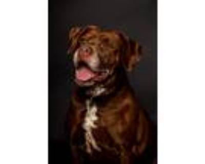Adopt Sabrina a Brown/Chocolate - with White Labrador Retriever / Pit Bull