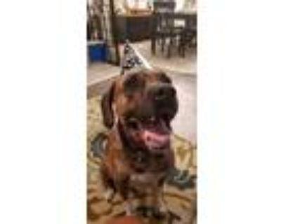 Adopt Tigger a Brindle - with White Boxer / Plott Hound / Mixed dog in Glendora