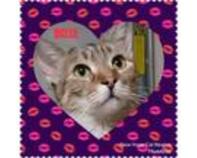 Adopt Belle a Brown or Chocolate (Mostly) Domestic Shorthair (short coat) cat in
