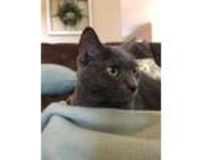 Adopt Tink & Tilly a Gray or Blue Russian Blue / Mixed (short coat) cat in