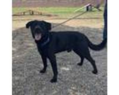 Adopt Jax a Retriever, Labrador Retriever