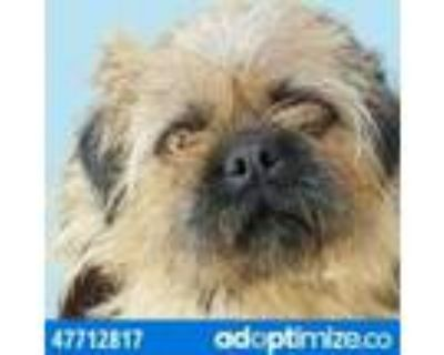 Adopt 47712817 a Brown/Chocolate Brussels Griffon / Mixed dog in El Paso