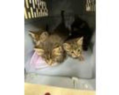 Adopt 47899058 a Brown or Chocolate Domestic Shorthair / Domestic Shorthair /