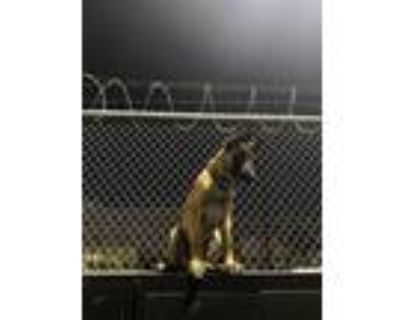 Adopt Prince a Brown/Chocolate Belgian Malinois / Mixed dog in Los Angeles