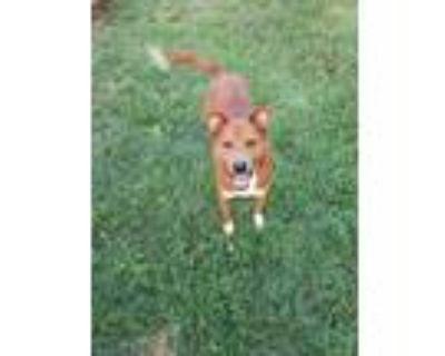 Adopt Leo a Red/Golden/Orange/Chestnut Mixed Breed (Medium) / Collie / Mixed dog
