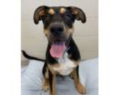 Adopt Cosmo a Great Dane