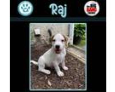 Adopt Raj (Big Bang Theory Pup) a White - with Brown or Chocolate Pointer dog in
