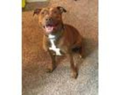 Adopt MUFFIN a Brown/Chocolate American Pit Bull Terrier / Mixed dog in