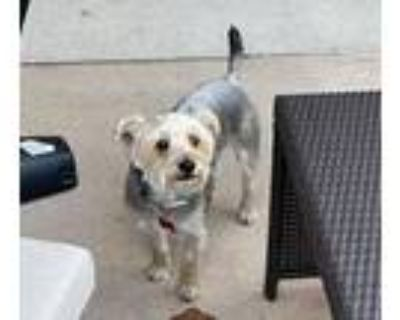 Adopt Wilson a Yorkshire Terrier, Mixed Breed