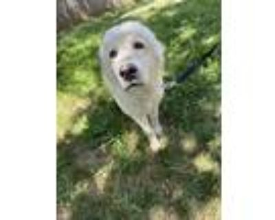 Adopt Chickie a White Great Pyrenees / Mixed dog in Gridley, CA (32083803)