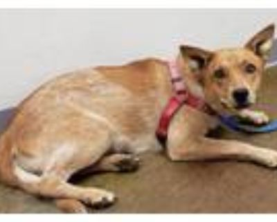 Adopt Copper a Shepherd (Unknown Type) / Australian Cattle Dog / Mixed dog in