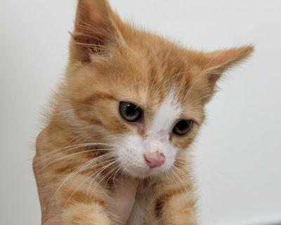 Cheeto Puff - Domestic Shorthair - Kitten Male