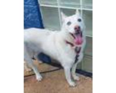 Adopt Kenzie* a White Husky / Mixed dog in Anderson, SC (32014210)