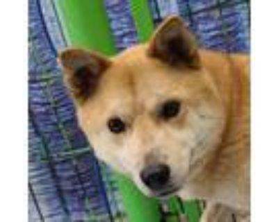 Adopt Selma a Tan/Yellow/Fawn - with White Jindo / Spitz (Unknown Type