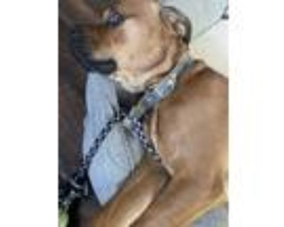 Adopt TJ a Brown/Chocolate - with Black Boxer / Cane Corso dog in Fairfield