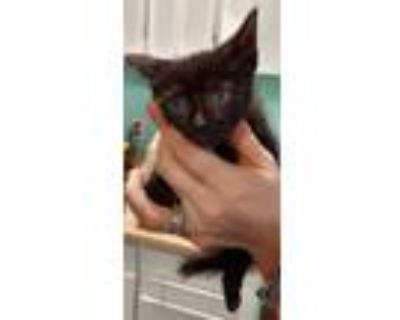 Adopt Fionna a All Black Domestic Shorthair / Domestic Shorthair / Mixed cat in