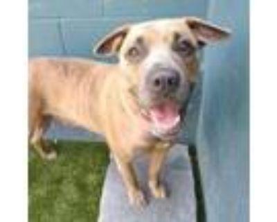 Adopt Allie a Brindle Mastiff / Mixed dog in Merriam, KS (31874678)