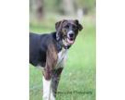 Adopt Tippy a Brindle - with White Labrador Retriever / Mixed dog in Sheridan