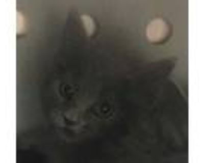 Adopt 48002568 a Gray or Blue Russian Blue / Domestic Shorthair / Mixed cat in