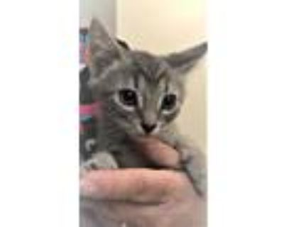Adopt 654998 a Gray or Blue Domestic Shorthair / Domestic Shorthair / Mixed cat