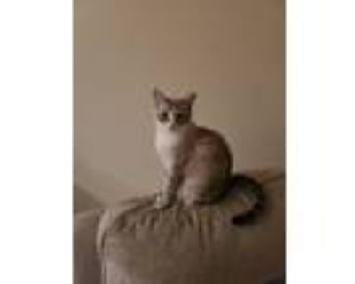 Adopt Princess and Willy a Cream or Ivory (Mostly) Siamese / Mixed (medium coat)