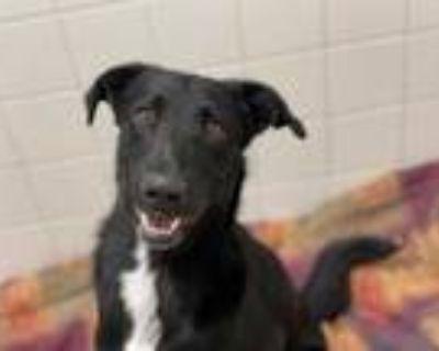 Adopt ETHAN a Black - with White Labrador Retriever / Mixed dog in Albuquerque