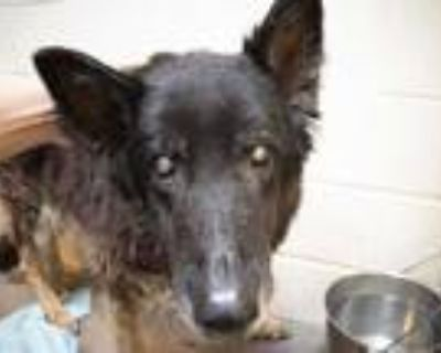 Adopt BERNARD a Black - with Tan, Yellow or Fawn German Shepherd Dog / Mixed dog