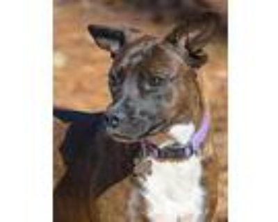 Wonder Girl, Pit Bull Terrier For Adoption In Alpharetta, Georgia
