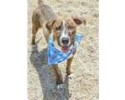 Adopt Jimmy a Brown/Chocolate Hound (Unknown Type) / American Pit Bull Terrier /