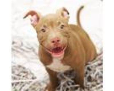 Adopt Tostado a Gray/Blue/Silver/Salt & Pepper American Pit Bull Terrier / Mixed