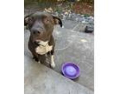 Adopt Boots a Brown/Chocolate - with White Labrador Retriever / American Pit