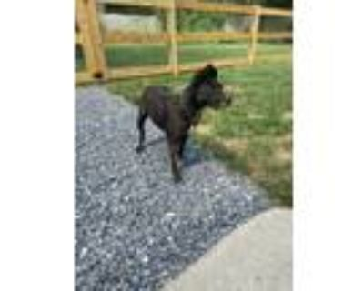 Adopt Maddie a Black - with White Terrier (Unknown Type, Medium) / Mixed dog in