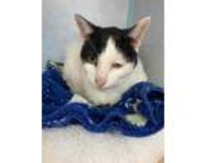 Adopt Abilene a Brown or Chocolate Domestic Shorthair / Domestic Shorthair /
