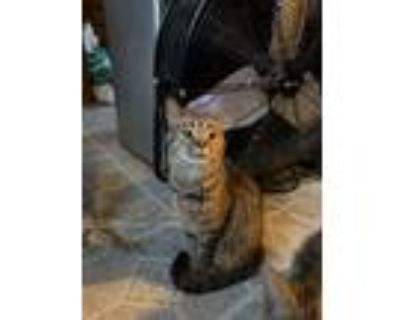 Adopt Max a Brown Tabby Domestic Shorthair (short coat) cat in Louisville