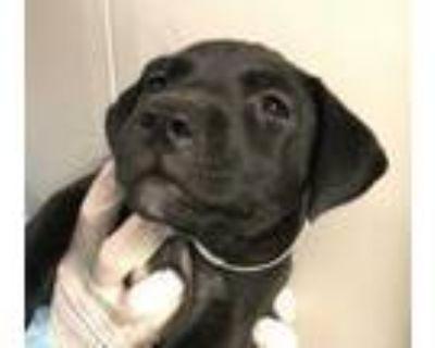Adopt Elvira a Labrador Retriever, Shepherd