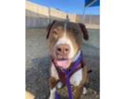 Adopt GOKU a Brindle - with White American Pit Bull Terrier / Mixed dog in