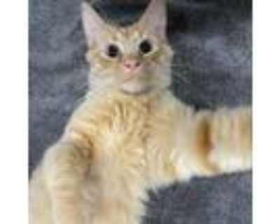 Adopt Furby a Orange or Red Domestic Mediumhair / Mixed cat in Cumming