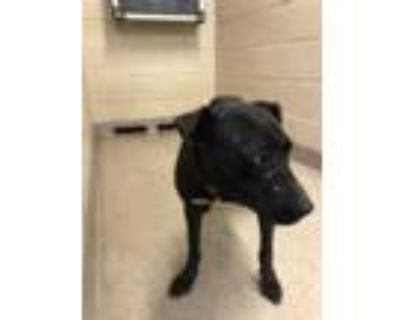 Adopt Lylla a Black American Pit Bull Terrier / Mixed dog in Shelby