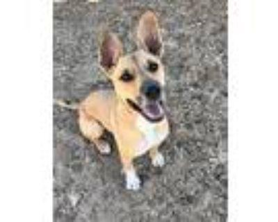 Adopt LEXI a Tricolor (Tan/Brown & Black & White) Boxer / German Shepherd Dog /