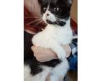Adopt Batgirl a Black & White or Tuxedo Domestic Shorthair / Mixed cat in